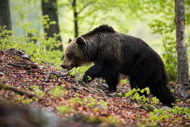 Dominanter braunbärenmann, der im grünen sommerwald mit bäumen geht