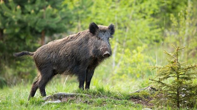 Dominantes wildschwein, das auf einem hügel nahe kleiner fichte anzeigt.