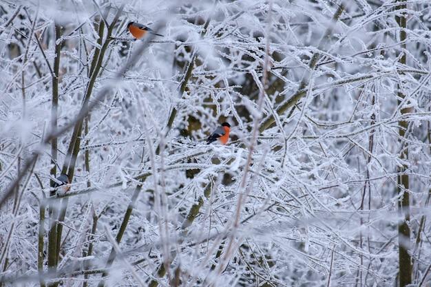 Dompfaffen sitzen auf einem ast im winterwald