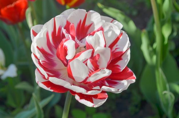 Doppelte tulpe carneval de nice