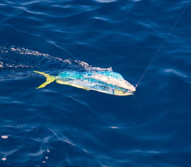 Dorado mahi-mahi fisch mit angelschnur eingehakt