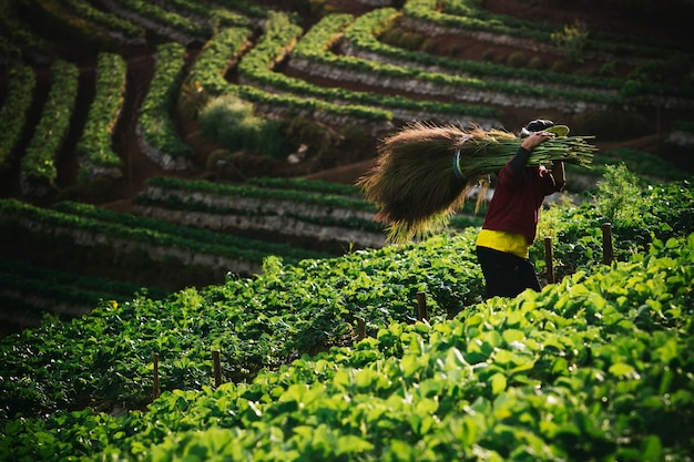 Dorfbewohner inchiangmai nördlich von thailand arbeitet in erdbeerfarm