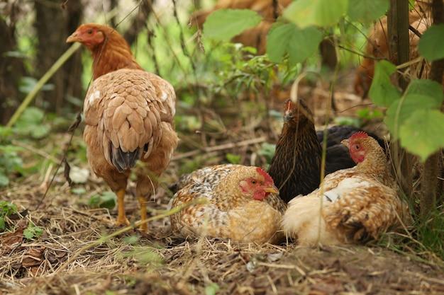 Dorfhühner ruhen auf dem hof