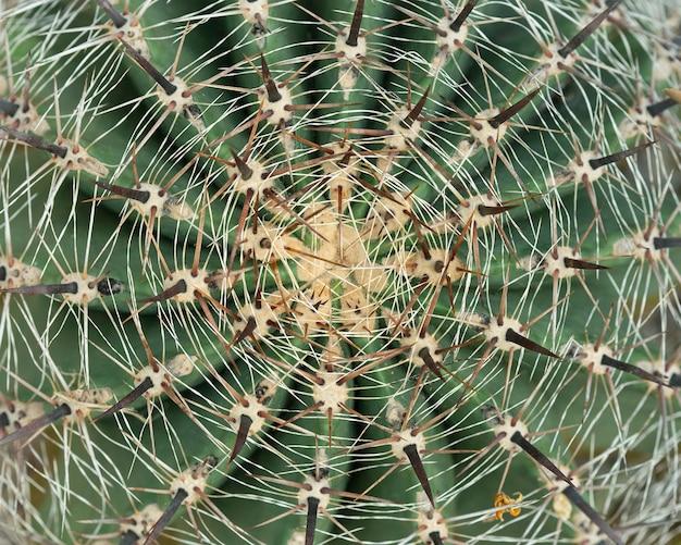 Dorn des kaktusblattes