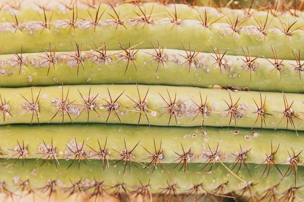 Dornen auf grünem kaktus