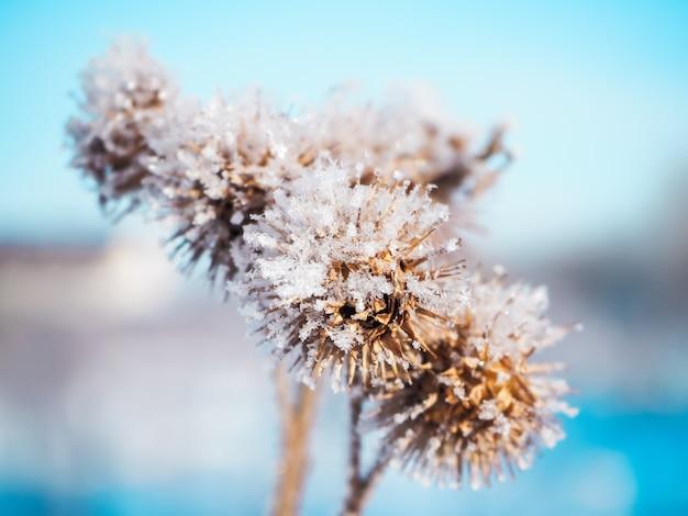 Dornpflanze mit ersten schneeflocken