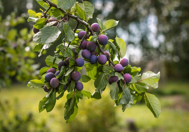 Dornzweig mit früchten im sommer auf dem garten.