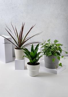 Dracena marginata, hedera helix und dracaena compacta topfpflanzen in töpfen auf grauem hintergrund. haus- und gartenkonzept.