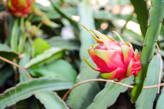 Drachenfrucht auch pitaya oder pitahaya genannt, frisch am baum im garten.