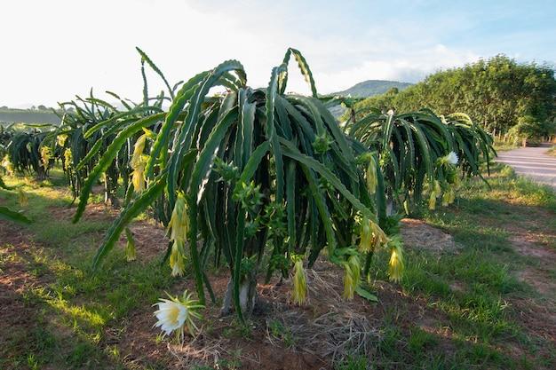 Drachenfrucht auf pflanze