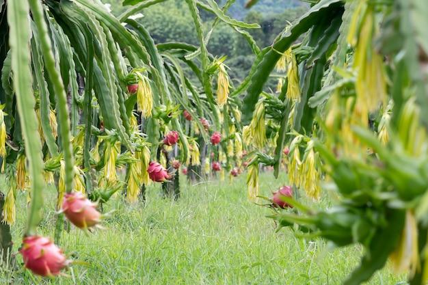 Drachenfrucht-feld oder pitahaya-feld-landschaft. ein pitaya oder pitahaya ist die frucht mehrerer auf dem amerikanischen kontinent beheimateter kakteenarten