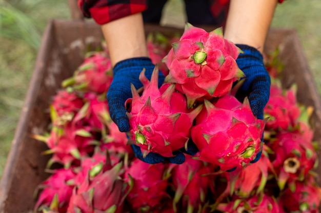 Drachenfrucht in der hand der bauer, eine pitaya oder pitahaya ist die frucht mehrerer einheimischer kaktusarten.