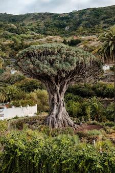 Drago milenario, der drachenbaum der kanarischen inseln