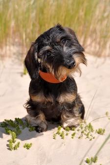 Drahthaariger dackelhund, der auf sand sitzt