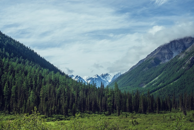 Dramatische landschaft mit schneebedeckten bergen hinter grünen tannenspitzen unter bewölktem himmel.