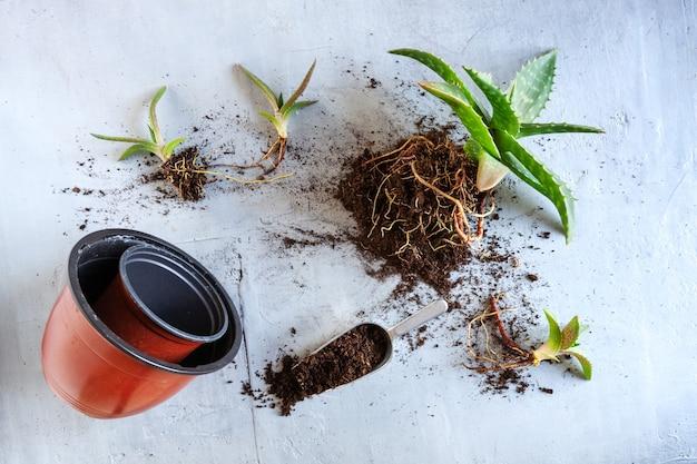 Draufsicht auf das pflanzen von grünen hauspflanzen aloe vera in töpfen. hausgartenkonzept