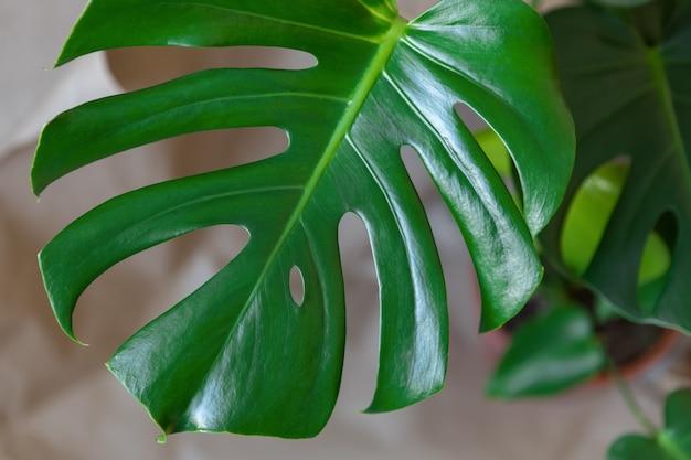 Draufsicht auf die delikatesse von monstera. nahaufnahme von grünen frischen blättern auf einem beige. home pflanzenpflege-konzept, städtischer dschungel, natürliche inneneinrichtung, hobby. weicher selektiver fokus. horizontal.