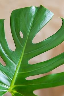Draufsicht auf die delikatesse von monstera. nahaufnahme von grünen frischen blättern auf einem beige. home pflanzenpflege-konzept, städtischer dschungel, natürliche inneneinrichtung, hobby. weicher selektiver fokus. vertikal.