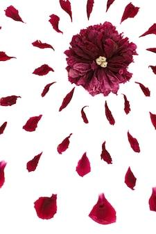 Draufsicht auf ein blumenmuster von pfingstrosenblättern. komposition von blumen auf einer weißen oberfläche von hand gemacht. nahaufnahme fotografiert.