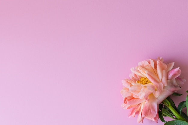 Draufsicht auf eine pfingstrose, blume auf rosa hintergrund, flache lage, kopierraum