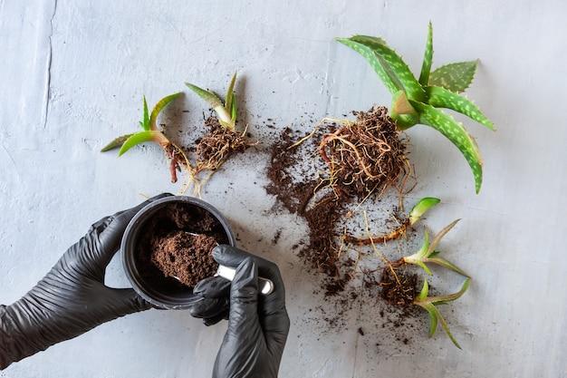 Draufsicht auf frauenhände in schwarzen schutzhandschuhen, die grüne zimmerpflanzen aloe vera in töpfen pflanzen