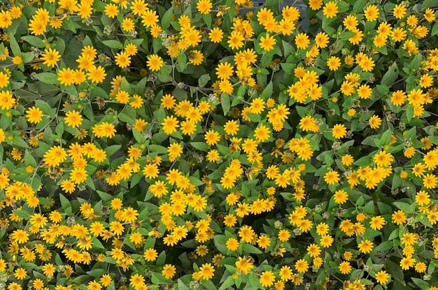 Draufsicht auf melampodium butter daisy mini sonnenblume gelbe blume rudbeckia