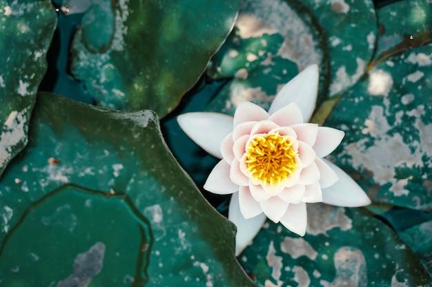 Draufsicht auf seerose und große grüne blätter, die im wasser schwimmenden weißen lotus im teich schöne blume ...