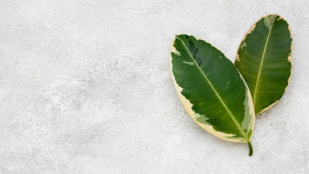 Draufsicht auf zwei pflanzenblätter mit kopierraum