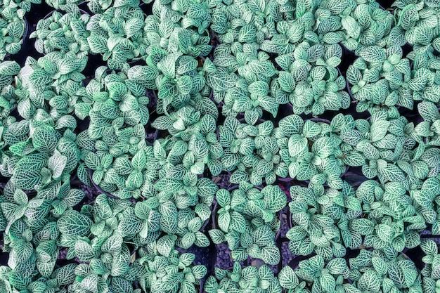 Draufsicht, beschaffenheit eines cantus baums gepflanzt in einem topf.