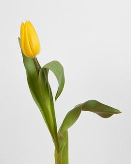 Draufsicht blühende tulpe