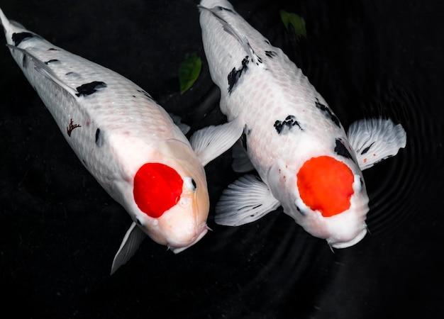Draufsicht bunte koi-fische