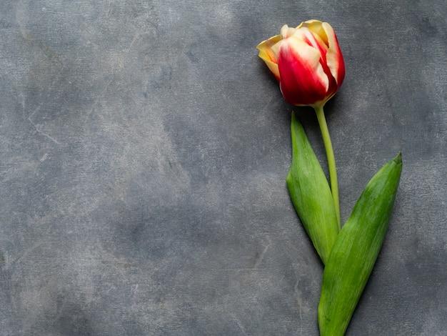 Draufsicht der farbigen tulpe auf einer grauen tabelle. flache lage mit leeren exemplarplatz