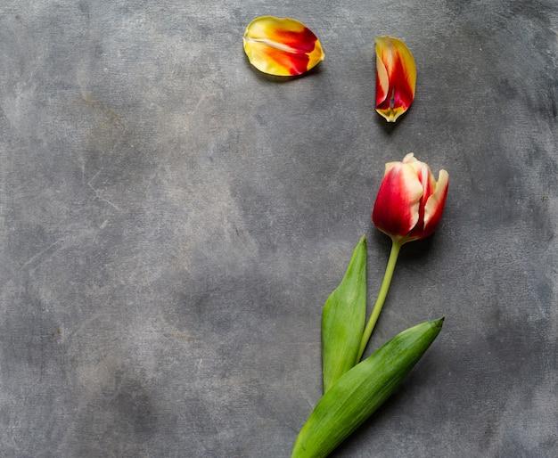 Draufsicht der farbigen tulpe mit den blumenblättern auf einer grauen tabelle. flache lage mit leeren exemplarplatz