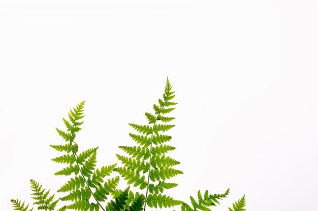 Draufsicht der grünen tropischen farnblätter lokalisiert auf weißem hintergrund. minimales sommerkonzept mit farnblatt. flach liegen