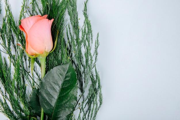 Draufsicht der korallenfarben-rosenblume mit spargel lokalisiert auf weißem hintergrund mit kopienraum