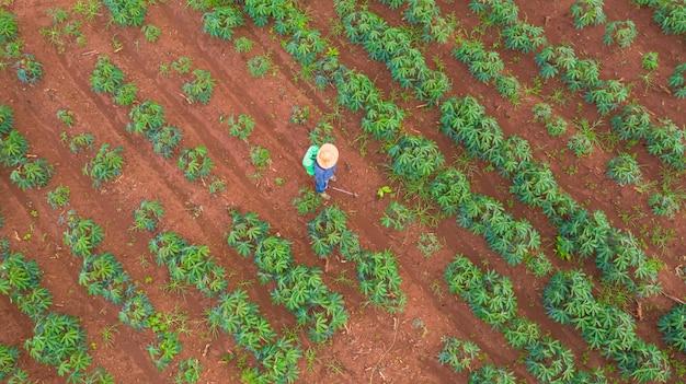 Draufsicht der luft von den landwirten, die an der bauernhofmanioka arbeiten