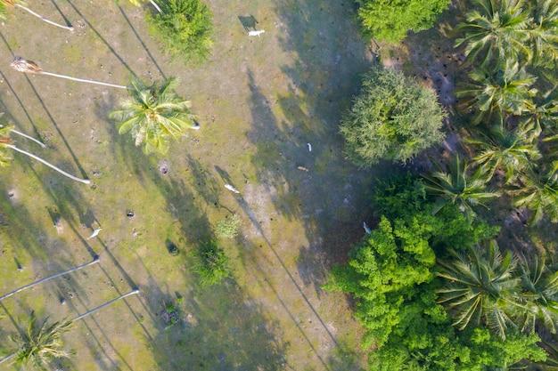 Draufsicht der luft von kühen in einer kokosnussplantage