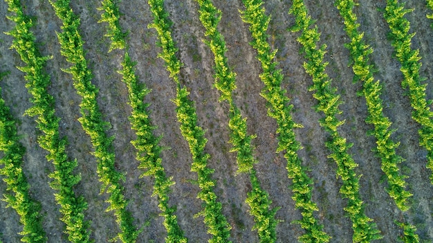 Draufsicht der luft von weinbergen gestalten vom oben genannten hintergrund, südfrankreich landschaftlich