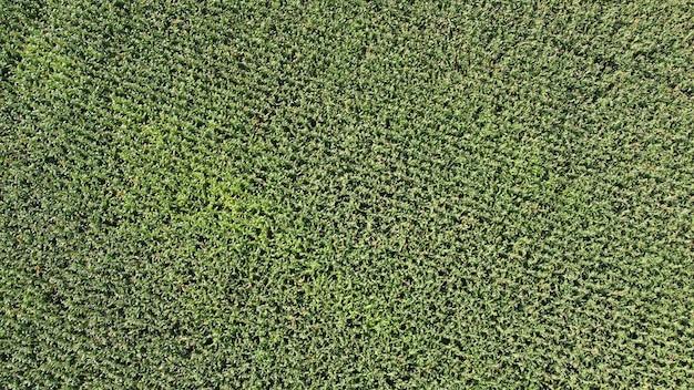 Draufsicht der maisfeldplantage. landwirtschaftliche nahrungsmittelproduktion, plantage von oben, draufsicht der erntelinienbeschaffenheit
