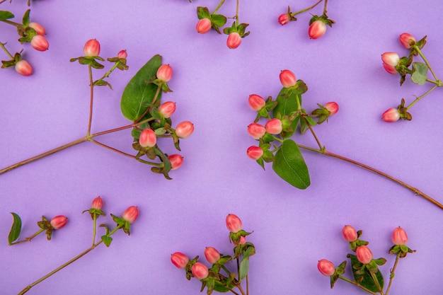 Draufsicht der reizenden hypericumbeeren, die auf violetter oberfläche isoliert werden
