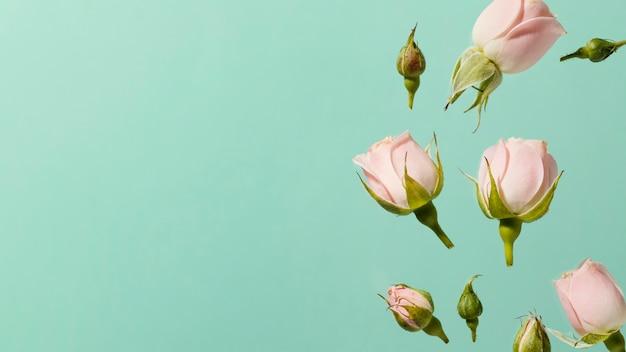 Draufsicht der rosa frühlingsrosen mit kopienraum