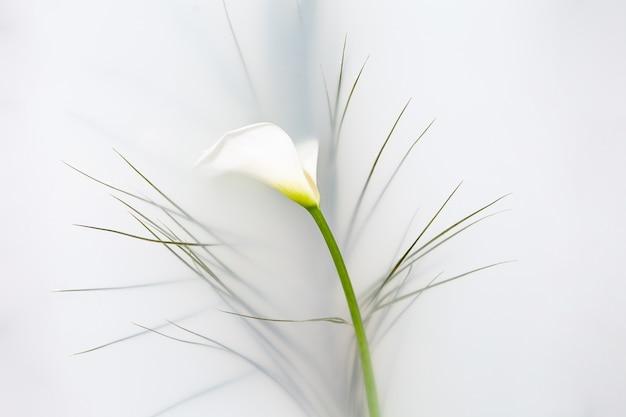Draufsicht der sanften calla-blume mit weißen blütenblättern und grüner pflanze, die im bad mit milchigem wasser schwimmt