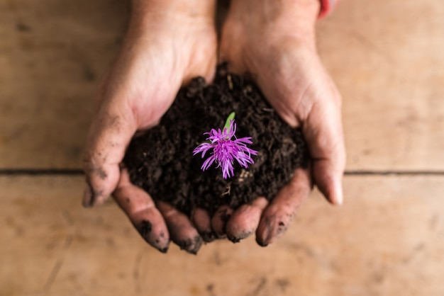 Draufsicht der schmutzigen hände, die eine zierliche lila blume in reichem fruchtbarem boden halten