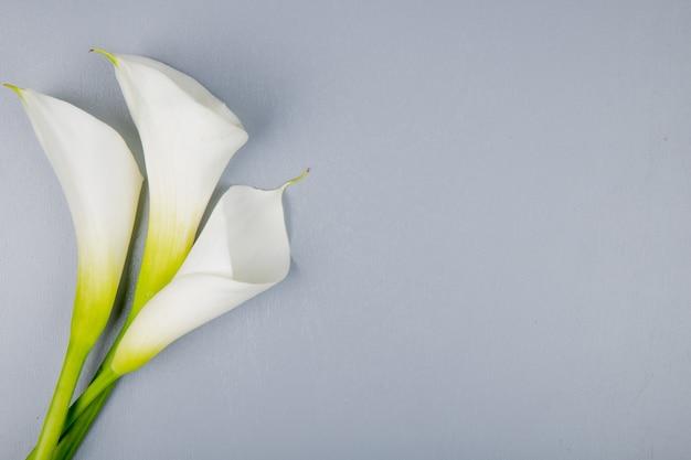 Draufsicht der weißen farbe callalilien lokalisiert auf grauem hintergrund mit kopienraum