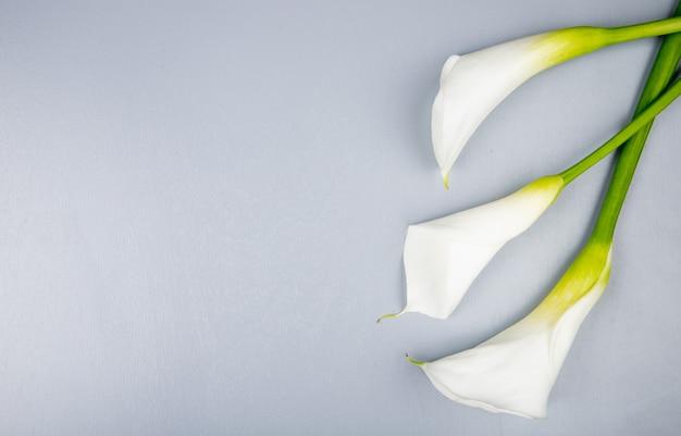 Draufsicht der weißen farbe callalilien lokalisiert auf weißem hintergrund mit kopienraum