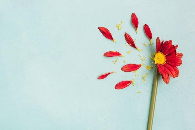 Draufsicht des frühlingsgänseblümchens mit den blumenblättern