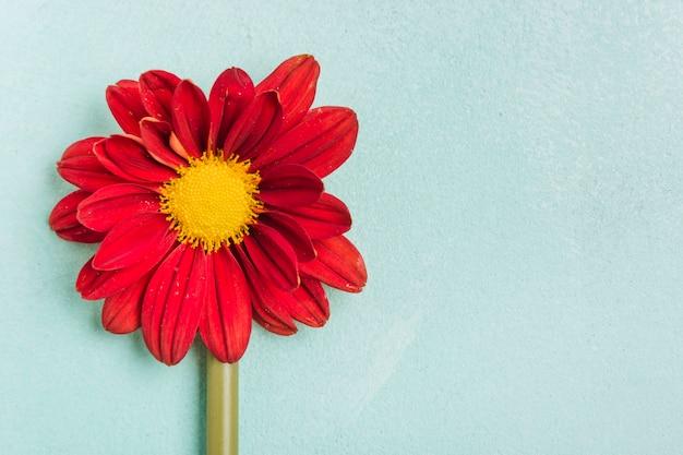 Draufsicht des frühlingsgänseblümchens mit kopienraum