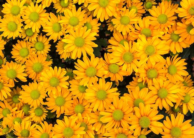 Draufsicht des gelben floristen mun blüht auf dem blumengebiet