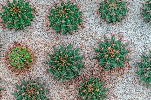 Draufsicht des grünen kaktus über steingarten