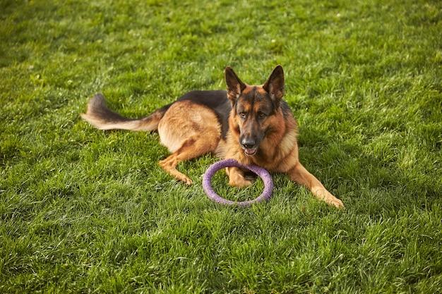 Draufsicht des hundes mit spielzeug, das auf dem gras im park liegt